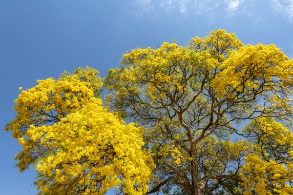 Golden Bloom - 01 by Augusto Miranda