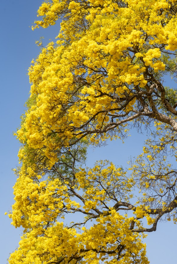 Golden Bloom - 06 by Augusto Miranda