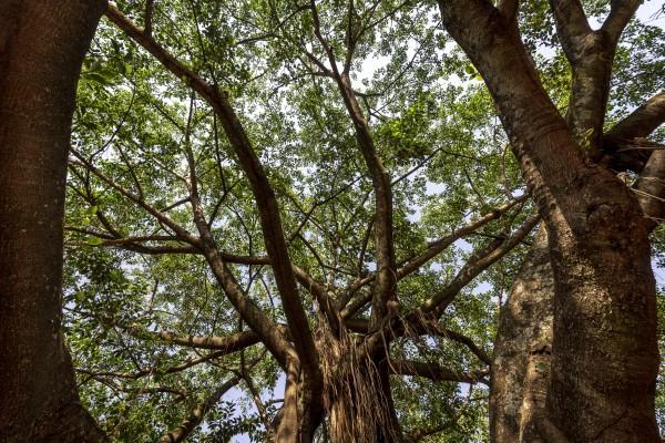 Giant fig tree - window by Augusto Miranda