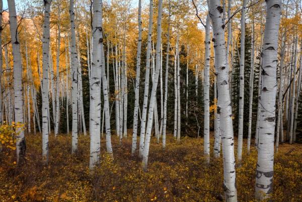 ASPEN FOREST IN AUTUMN by Bill Sherrell