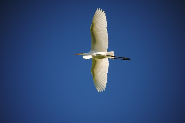 Egret Sailing Above by Brent Luke Augustus