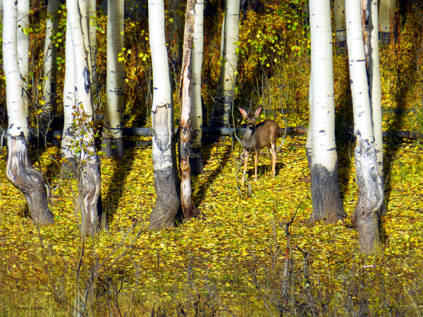 Baby Deer in Old Aspen Trees by Brian Shaw