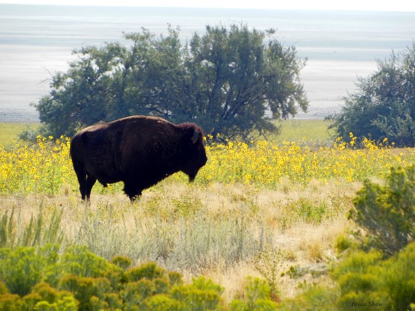 Buffalo Sunflowers by Brian Shaw