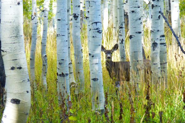 Deer in Aspens by Brian Shaw
