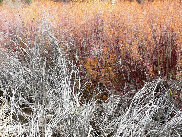 Willows by Brian Shaw