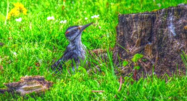 The Wood Pecker in HDR by Bruce Swartz
