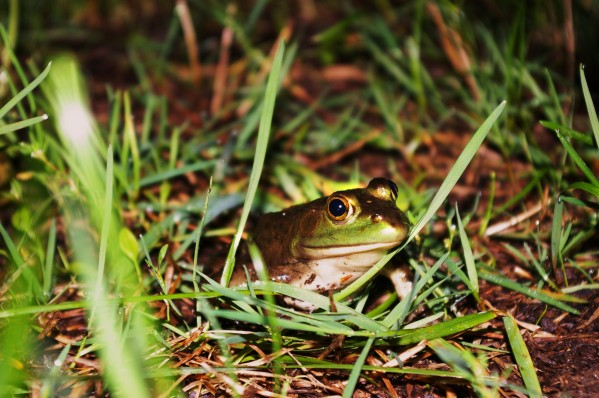 Frog by Bunnoffee Photography