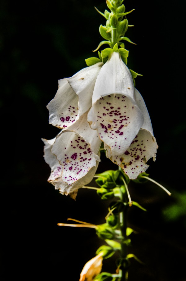 Foxgloves Flowers by Bunnoffee Photography