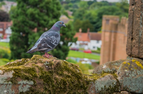 Pigeon by Bunnoffee Photography