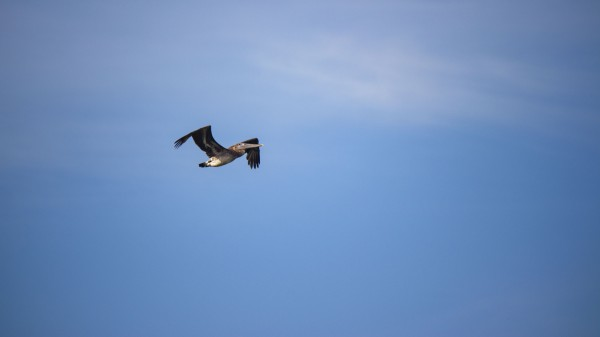 Pelican by By the C Media