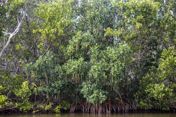 Mangrove forest by By the C Media