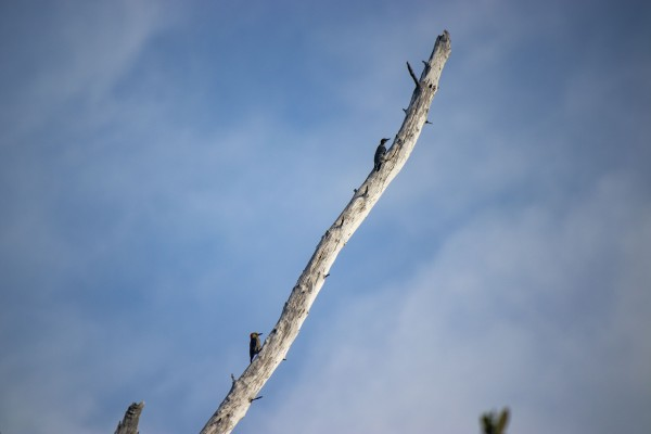 Two Woodpeckers- landscape  by By the C Media