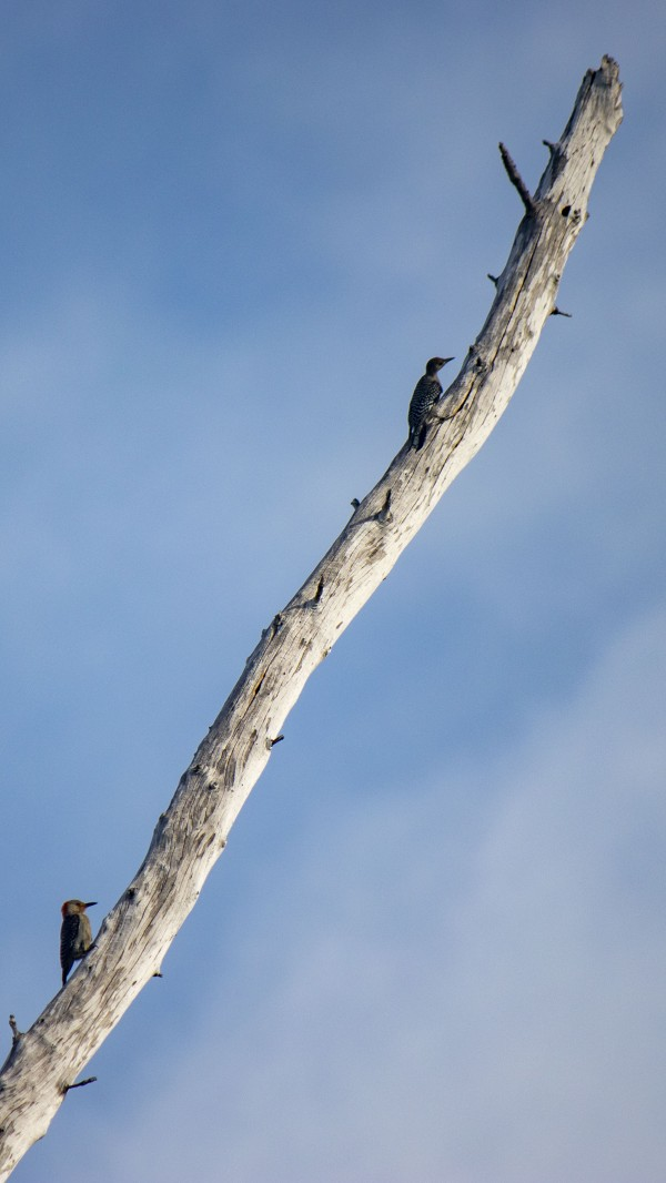 Two Woodpeckers by By the C Media