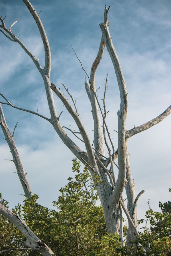 Australian Pine Trees on Sanibel by By the C Media