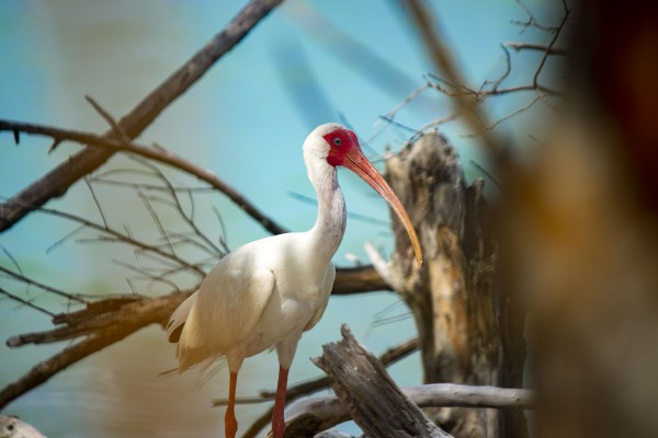 Ibis in the Trees by By the C Media