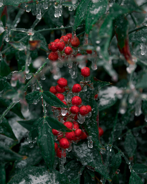 Frozen Berries by C-Nick Photography