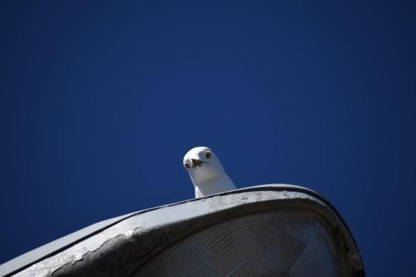 Peekaboo Seagull by Cameraman Klein