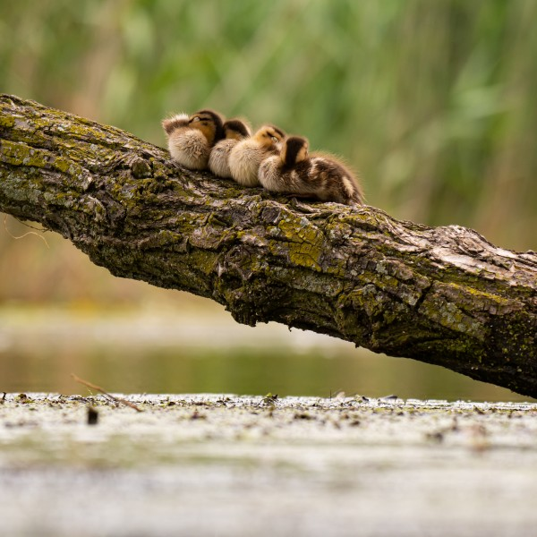 Ducklings on a Branch by Cameraman Klein