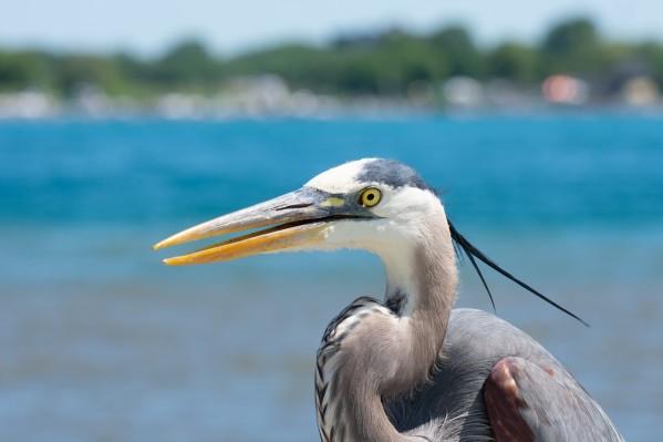 Great Blue Heron Portrait by Cameraman Klein