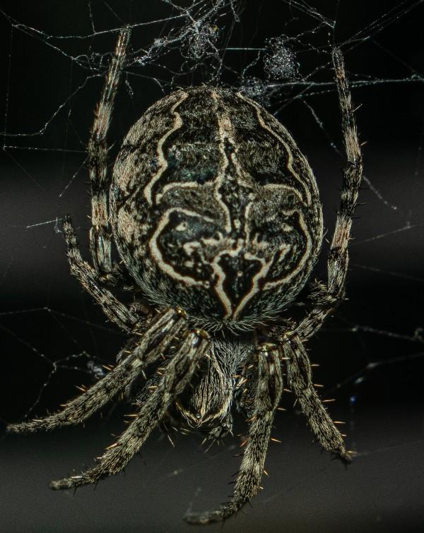 Macro Spider by Cameraman Klein