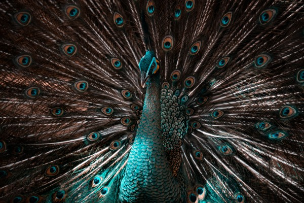 Peacock by Cameron Grey