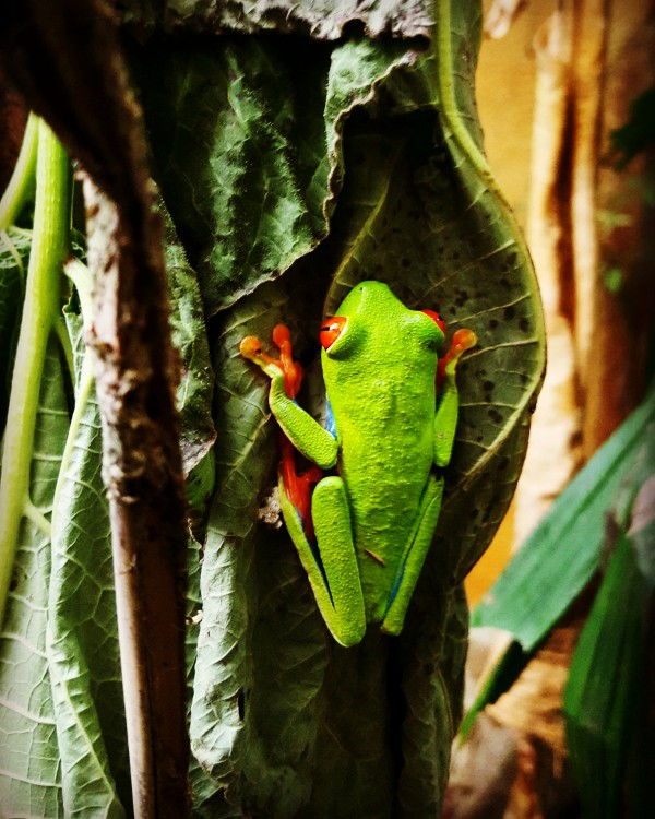 Red Eye Tree Frog by Chang Dynasty 87