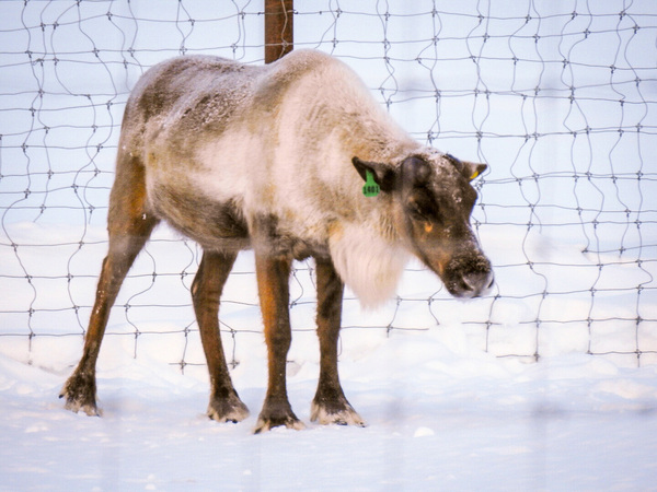 Bored Reindeer  by Cindy Rogers