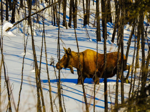 Moose on a stroll by Cindy Rogers