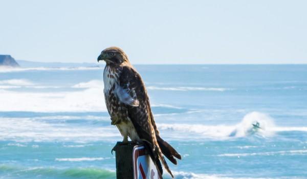hawk by Clare Kathleen Cornelius