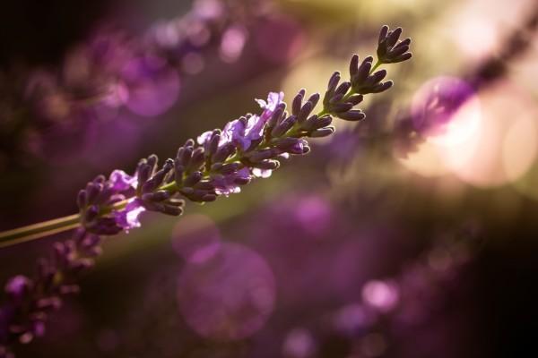 Lavendel by Dagmar Marina