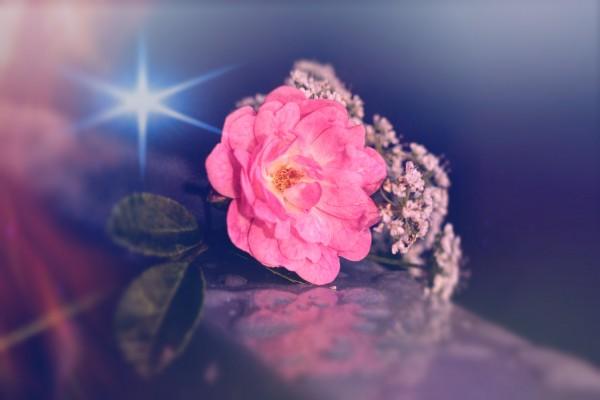 stern der rose by Dagmar Marina