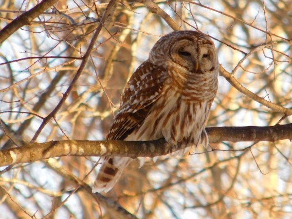Barred Owl  spring sunset.  by Debbie Caughey