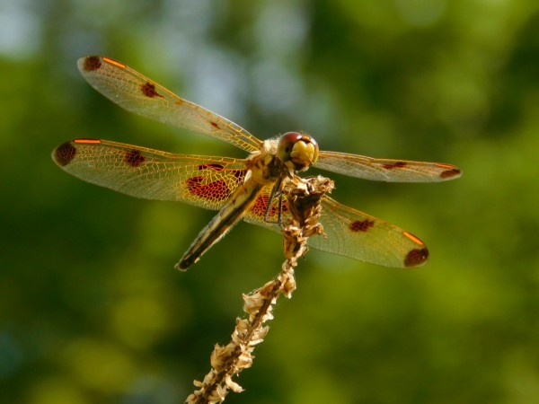 Calico  Pennant Dragonfly by Debbie Caughey