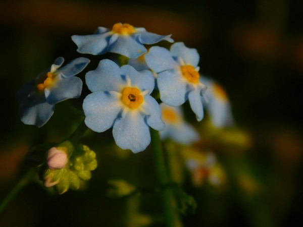 Forget-Me-Not  by Debbie Caughey