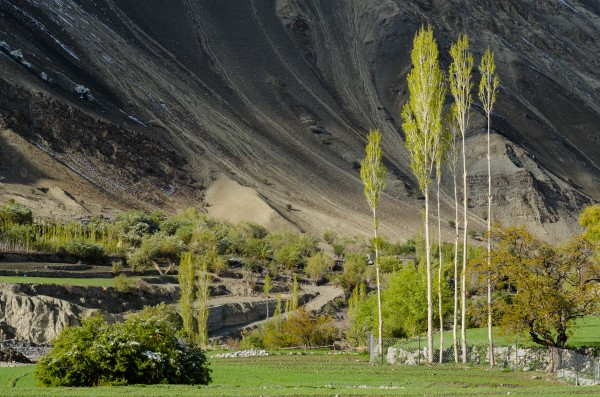 Poplar trees Leh Ladak India by Em Campos
