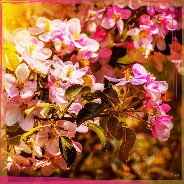 Pink apple blossoms under the spring sun Photomontage square by Francois Lariviere