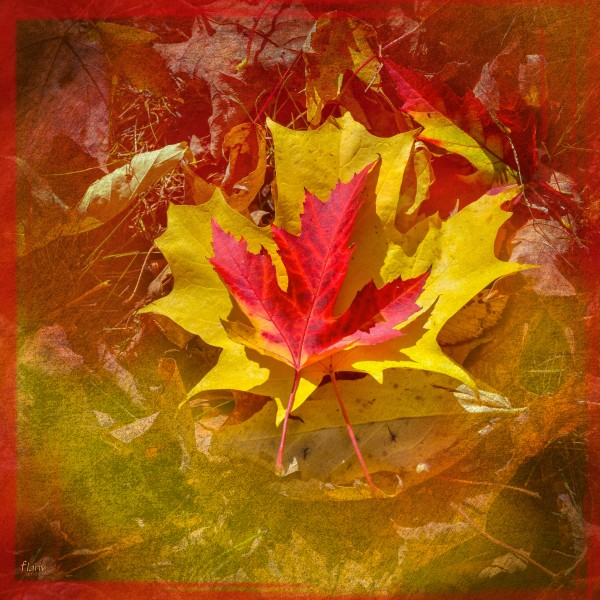 Red and yellow maple leaves in fall  square Photomontage by Francois Lariviere