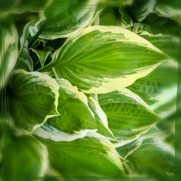Green leaves of hosta Square Photomontage by Francois Lariviere
