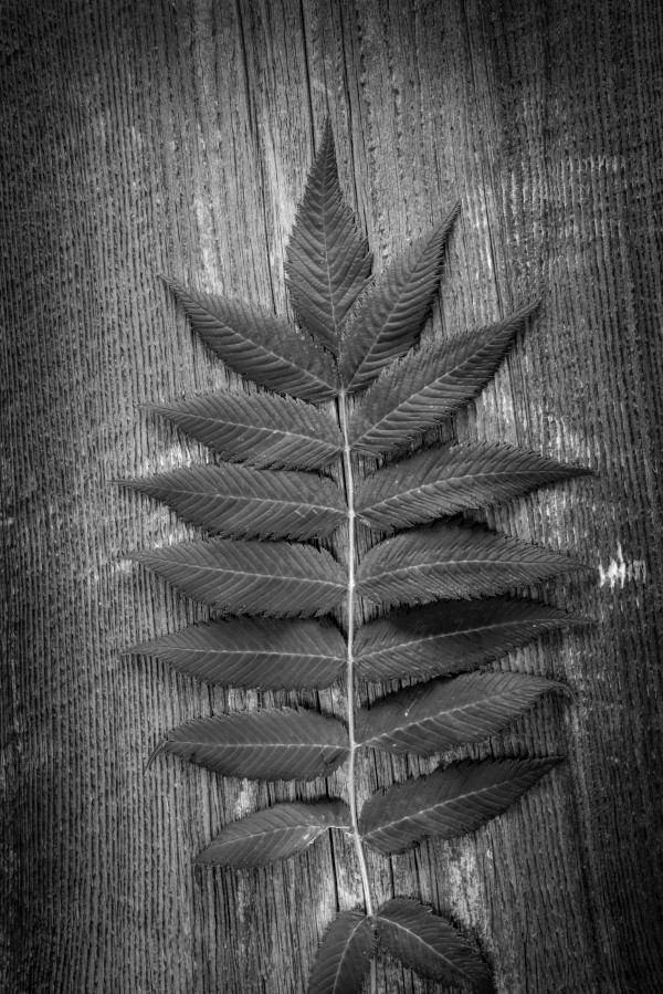 Branch of Ribbed Fern Leaves on Wooden Board Background black and white by Francois Lariviere