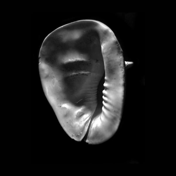 Horned Helmet Shell Cassis cornuta frank wilson by Frank Wilson