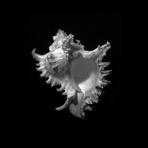 Murex Ramosus Seashell  by Frank Wilson