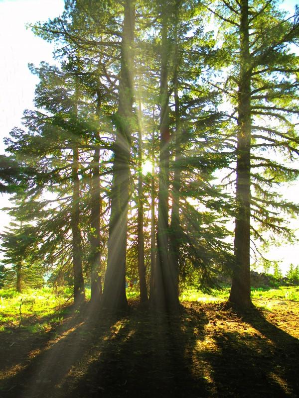 Back Lit Trees  by Frank Wilson