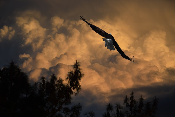 Eagle Flying Into The Storm  by Frank Wilson