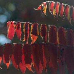 Red Leaves by Irritated Eye