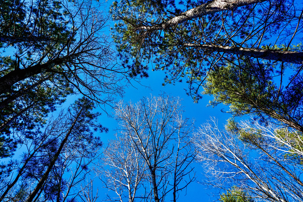 Towering Trees Bright Blue Sky Digital Download