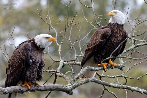 Bald Eagles by Jim Zenock