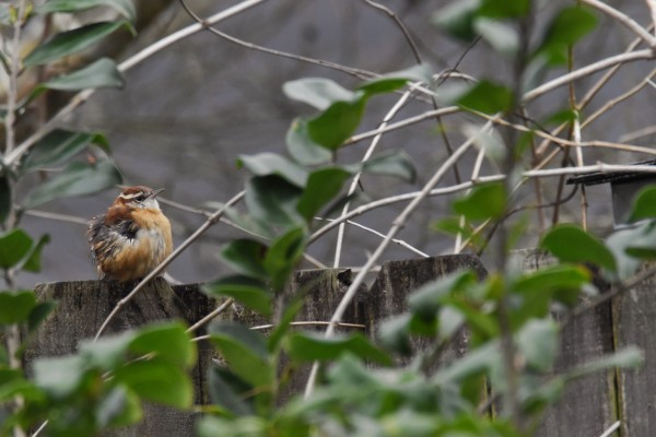 Young Carolina Wren by LambySnaps