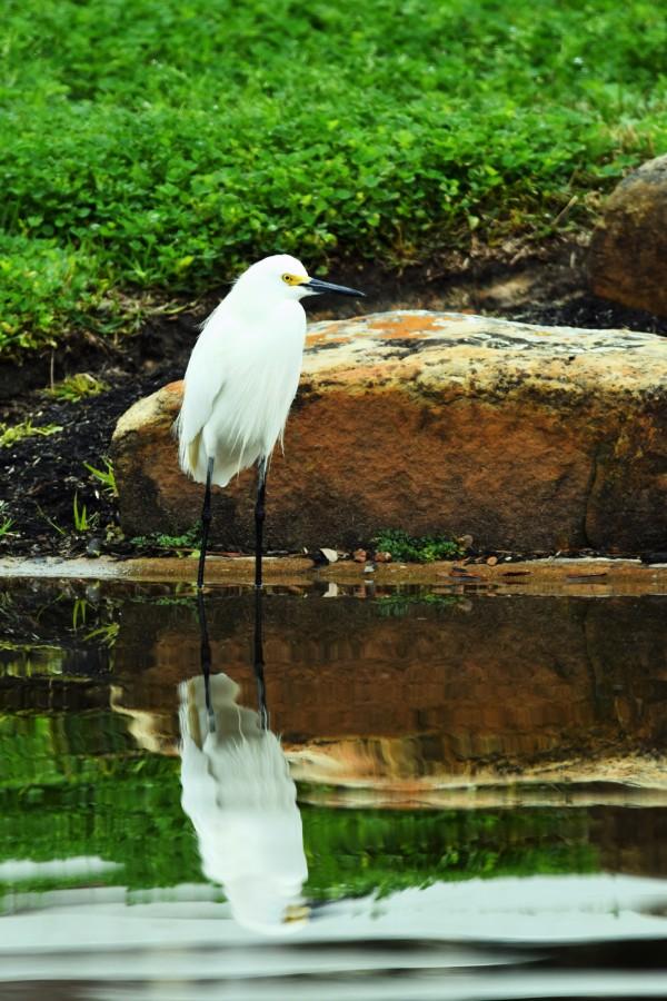 Snowy Egret by LambySnaps