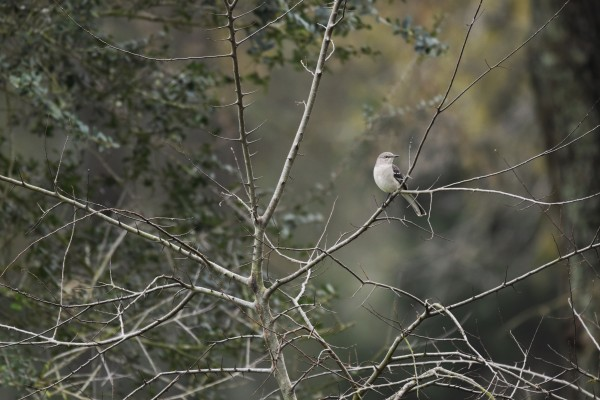 Resting Mockingbird by LambySnaps