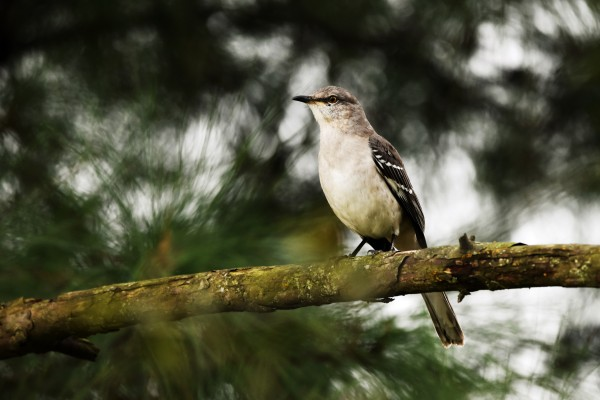 Mockingbird by LambySnaps